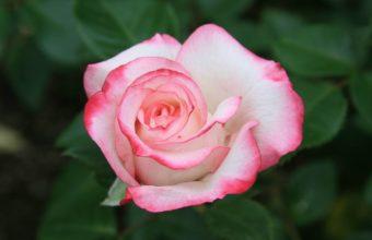 Rose Pink Petals 1920 x 1080 340x220