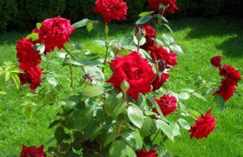 Rose Red Bush 1600 x 1200 340x220