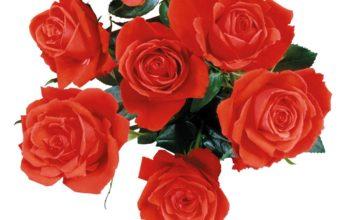 Rose Red Flower 1125 x 900 340x220