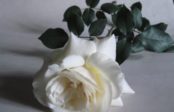 Rose White Flower 4000 x 2980 340x220