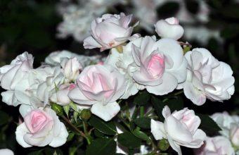 Rose White Stain 1920 x 1080 340x220