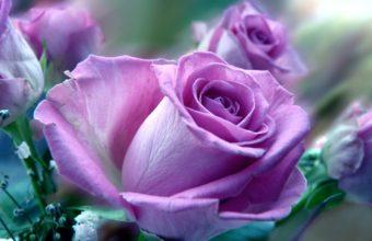 Roses Flowers Purple 3588 x 2586 340x220