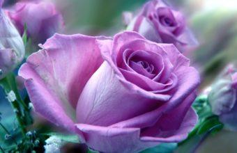 Roses Purple Soft Close Macro Close Up 1920 x 1200 340x220