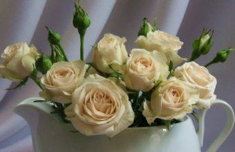 Roses White Back 1680 x 1050 340x220