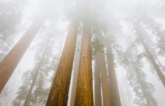 Sequoias In The Fog 1920 x 1080 340x220
