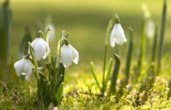 Snowdrops Grass Spring 2560 x 1600 340x220