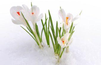 Snowdrops Snow Petals 1920 x 1080 340x220