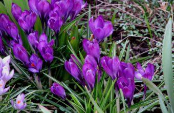 Snowdrops Spring Grass 2560 x 1600 340x220