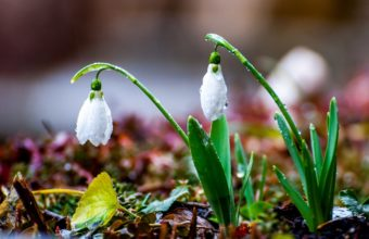 Snowdrops Spring Rain Drops 2048 x 1280 340x220