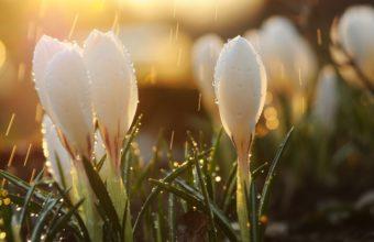 Spring Snowdrops Flowers 2560 x 1600 340x220