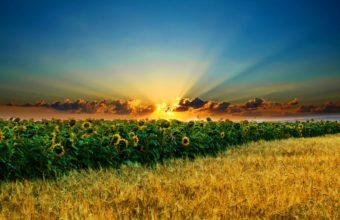 Sun Field Sunflower 2560 x 1600 340x220