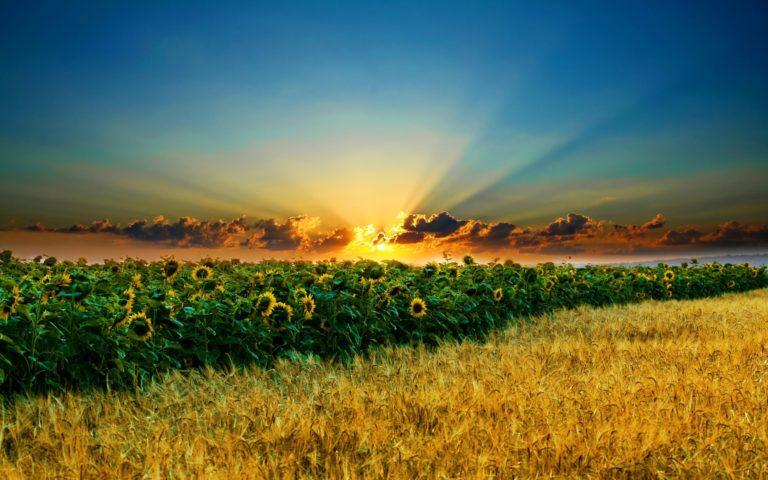 Sun Field Sunflower 2560 x 1600 768x480