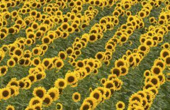 Sunflowers Grass Summer 1920 x 1080 340x220
