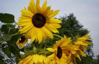 Sunflowers Summer Tree 1600 x 1180 340x220