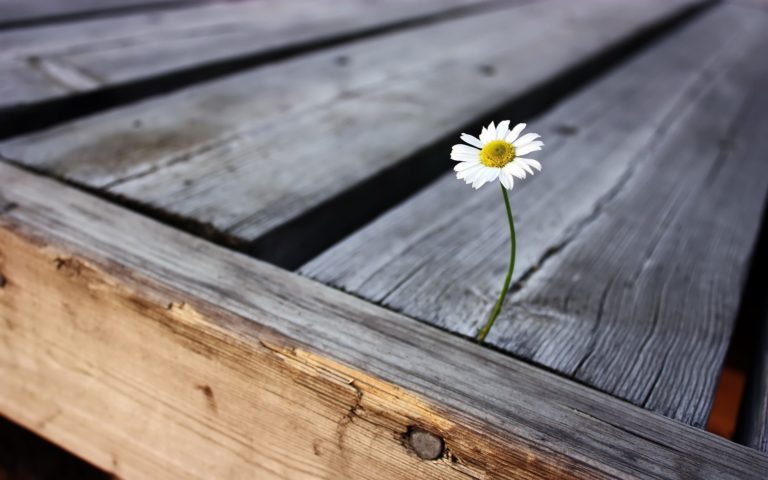 Survived Daisy 2560 x 1600 768x480