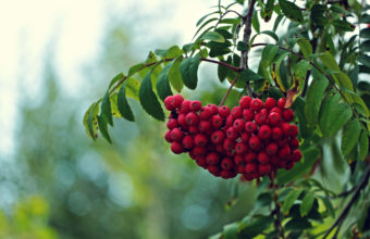 Tree Branches Leaves Fruit Red 2048 x 1365 340x220