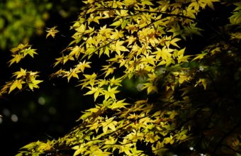 Tree Maple Leaves Foliage Crown Green 1920 x 1200 340x220