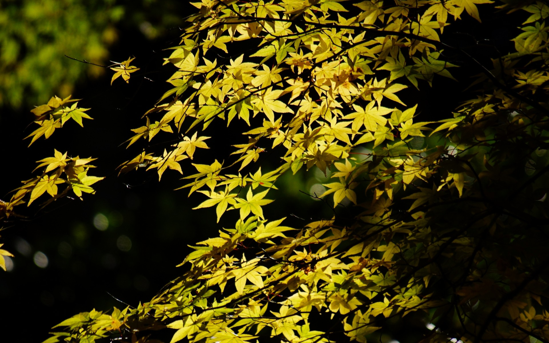 tree maple leaves foliage crown green - [1920 x 1200]