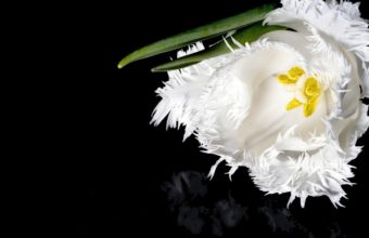 Tulip Flower White 1350 x 900 340x220