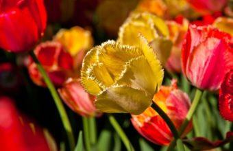 Tulip Petals Branch 2560 x 1600 340x220