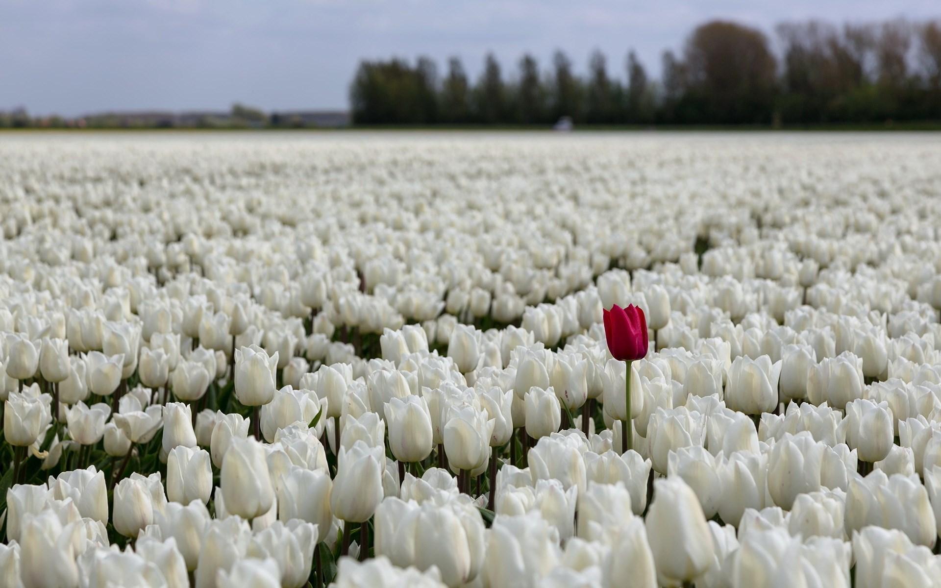 Tulips Fields Sea White Flowers Bokeh 1920 X 1200