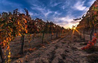 Vineyard Grapes Fruit Rows Leaves 1920 x 1200 340x220