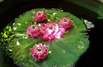 Water Lily Lotus 1984 x 1488 340x220