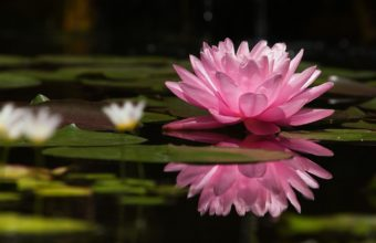 Water Lily Water Reflection 1440 x 900 340x220