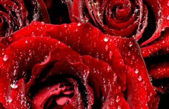 Wet Red Roses 1280 x 1024 340x220