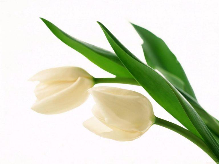 White Buds 1600 x 1200 768x576