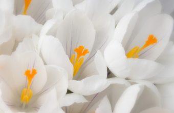 White Crocus 1920 x 1200 340x220