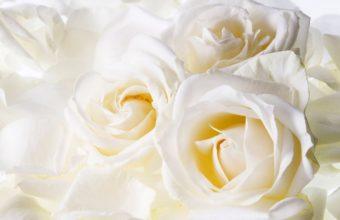 White Roses 1280 x 1024 340x220