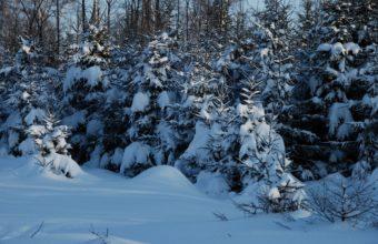 Winter Fir Trees Snow 2560 X 1600 340x220