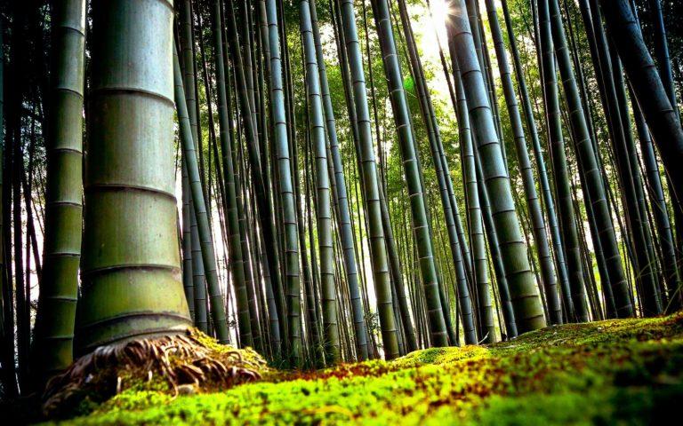 Bamboo Wallpaper 12 2960x1850 768x480