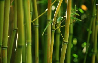 Bamboo Wallpaper 26 1366x768 340x220
