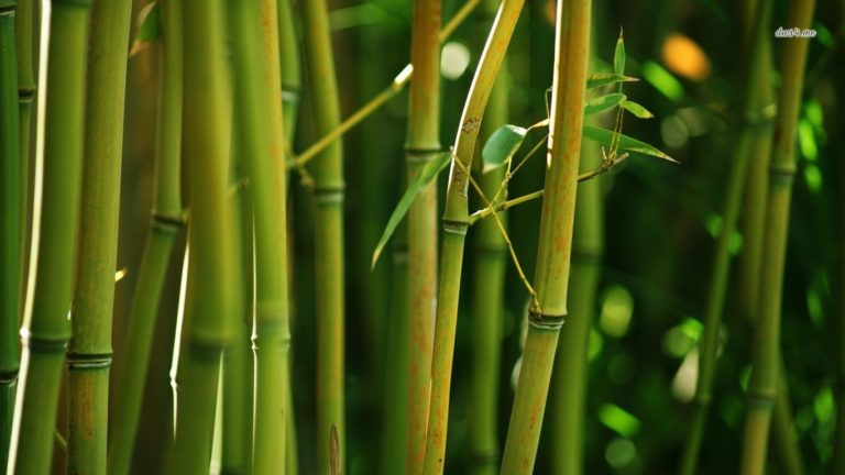 Bamboo Wallpaper 26 1366x768 768x432