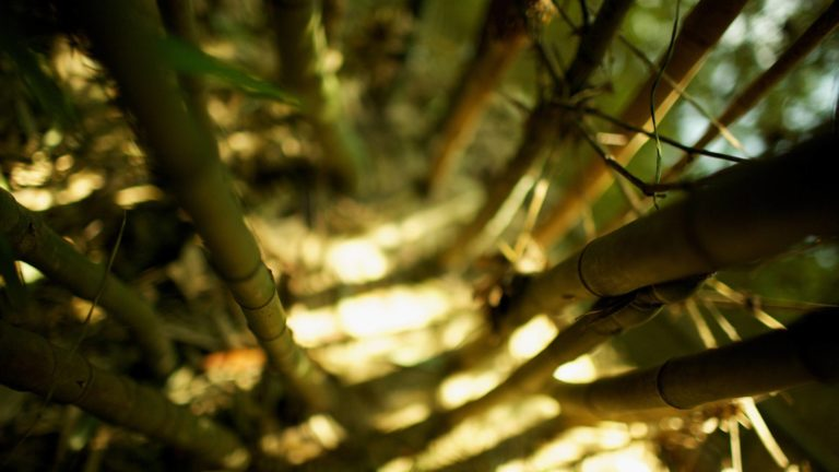 Bamboo Wallpaper 28 2560x1440 768x432