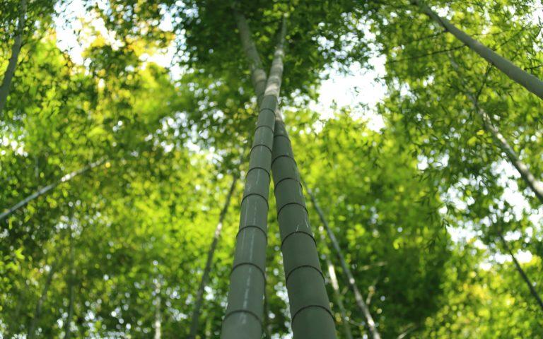 Bamboo Wallpaper 29 2560x1600 768x480