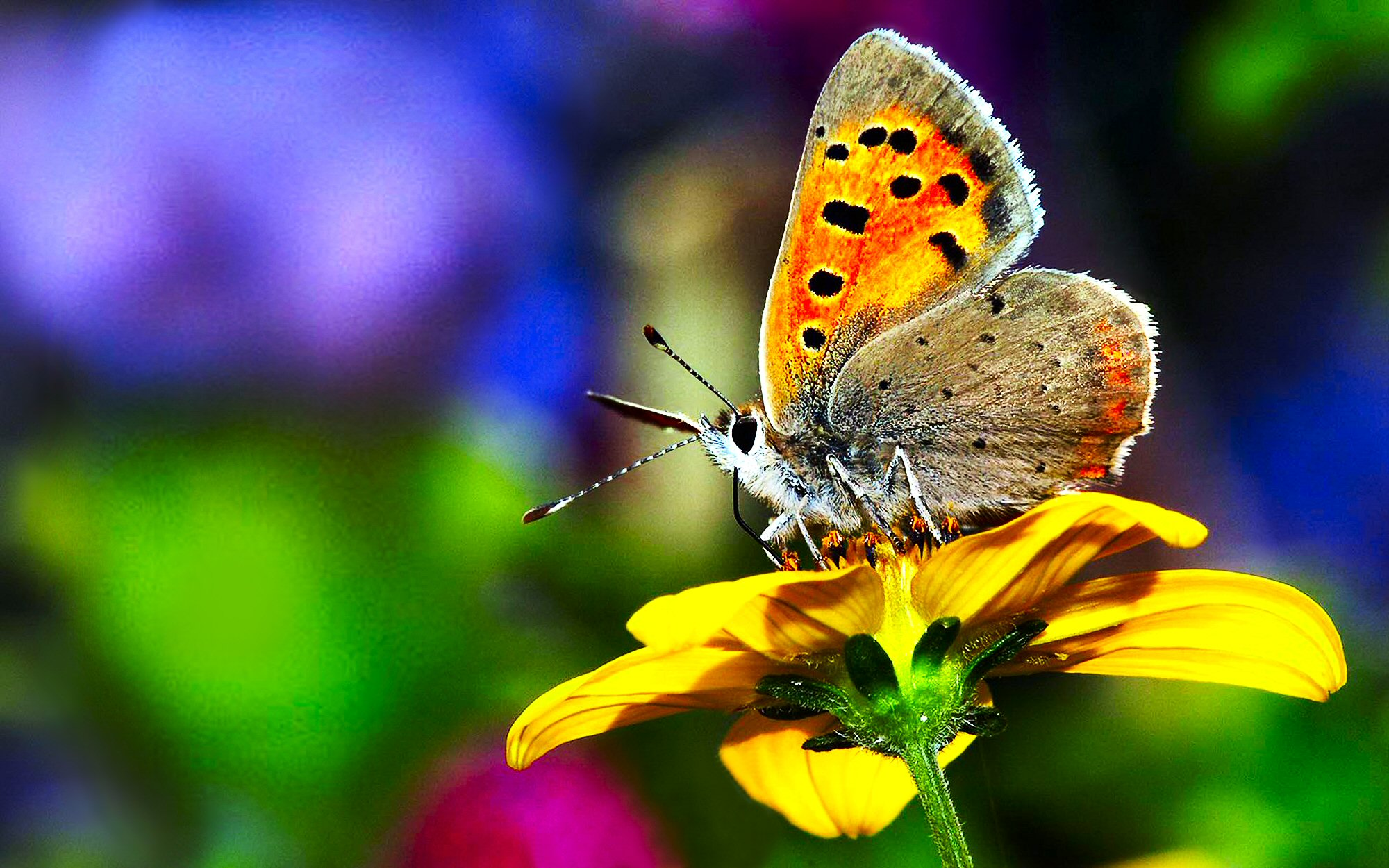 Butterfly Wallpapers 19 2000 X 1250