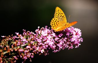 Butterfly Wallpapers 47 3840 x 2160 340x220