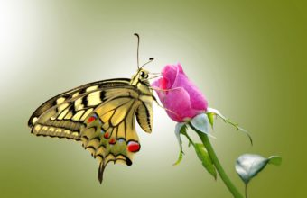 Butterfly Wallpapers 48 2775 x 1883 340x220