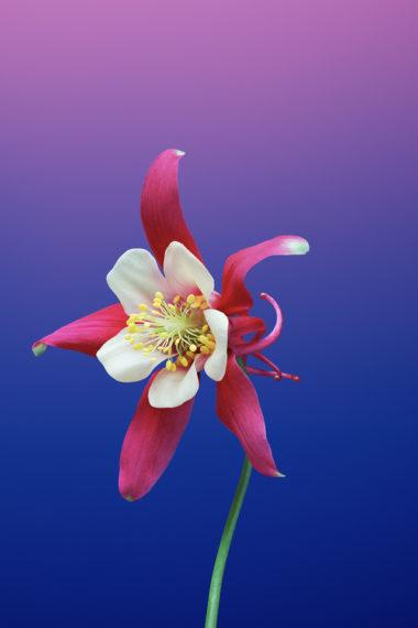 Ios 11 Flower Aquilegia Sc Wallpaper 640 x 960 380x570