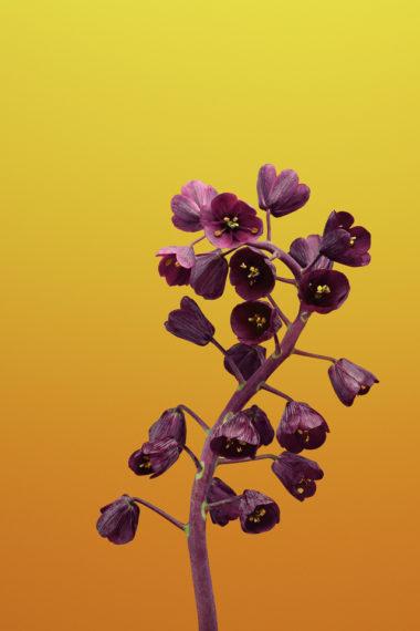 Ios 11 Flower Fritillaria Bb Wallpaper 640 x 960 380x570
