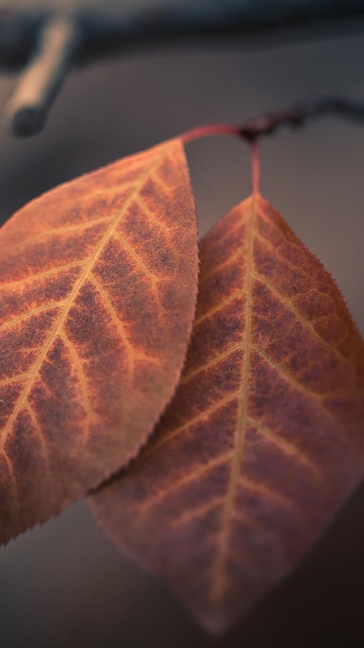 Autumn Macro Leaves Wallpaper 720x1280