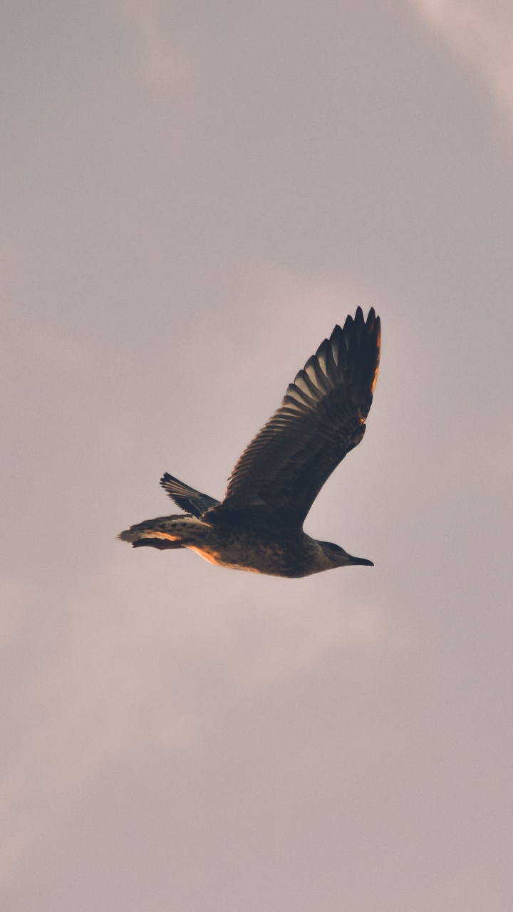 Bird Seagull Flight Sky Wallpaper 720x1280