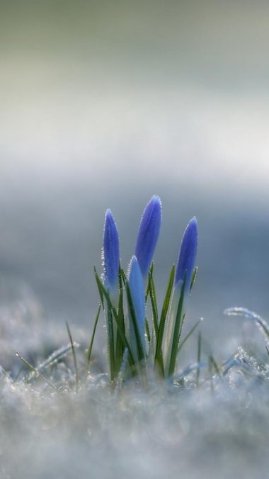 Crocus Wallpaper 720x1280 380x676