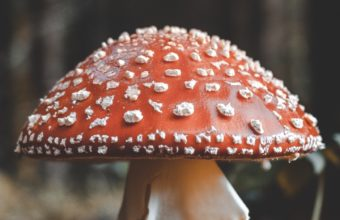 Fly Agaric Mushroom Fall Foliage Wallpaper 720x1280 340x220