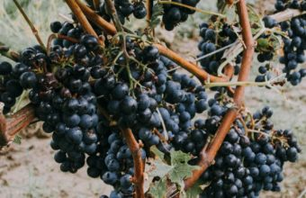 Grapevine Grapes Berries Wallpaper 720x1280 340x220