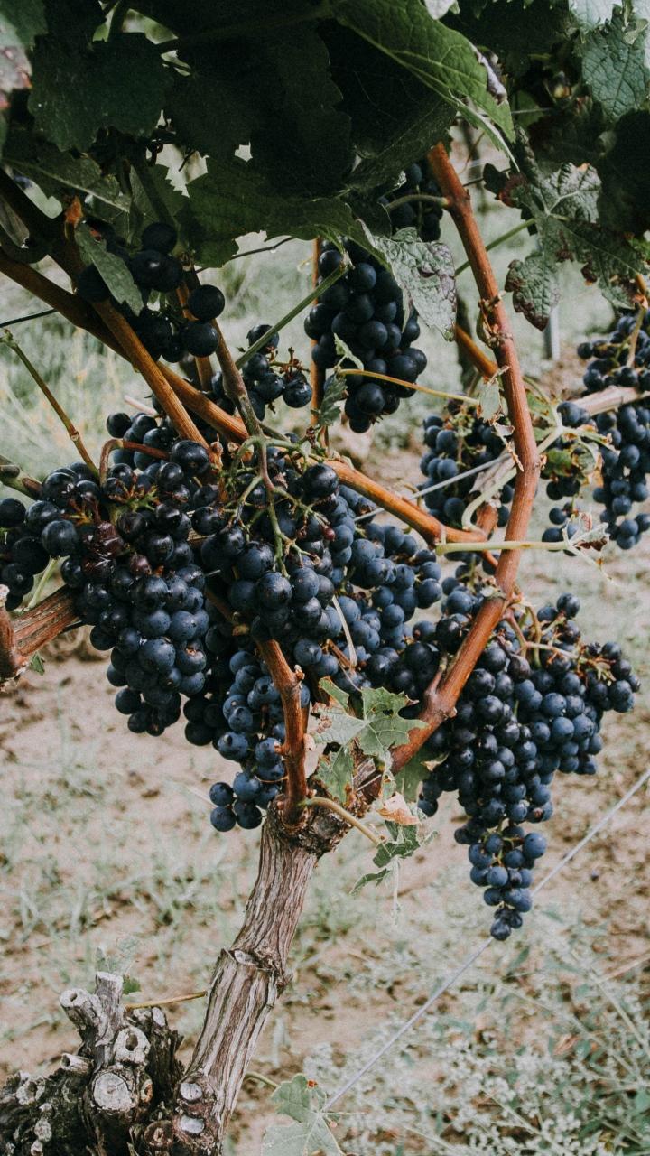 Grapevine Grapes Berries Wallpaper 720x1280