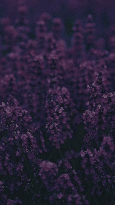 Lavender Ni Wallpaper 720x1280 380x676